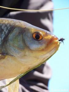 scardola-pesca-a-mosca